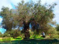 kreta-olijfboom