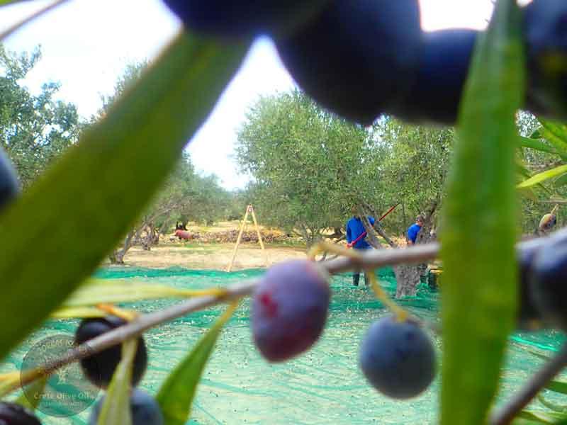 premium-crete-olijfolie